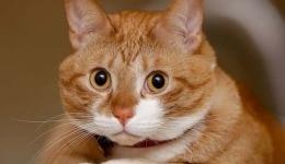 Результаты Московской выставки кошек